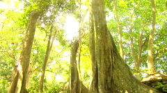 Sun rays shinning through old tree in the jungle Stock Footage