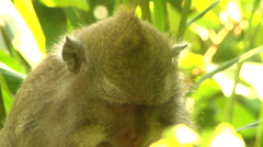Monkey eating in the Monkey Forest in Bali Stock Footage