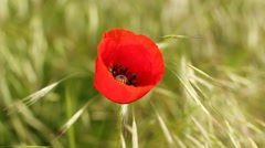 beautiful red poppy flower - stock footage