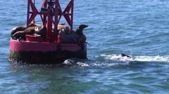 Sea Lions standing on a bouy Stock Footage