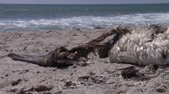 Dead pelican in Ventura Bach Stock Footage