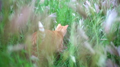 Cat tail waving while exploring tall grass Stock Footage