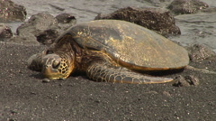 Sea Turtle coming to the beach in Hawaii Stock Footage