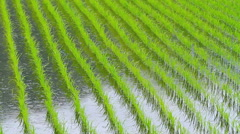 Young rice plant in the field. Stock Footage