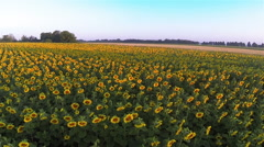 Fly over field of yellow sunflowers.  Aerial landscape Stock Footage
