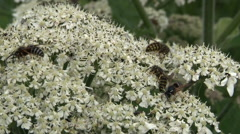 Wasp on white flower - stock footage