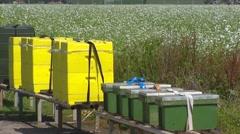 Beehives in field with oilseed radish  (Raphanus sativus subsp. Oleiferus) Stock Footage