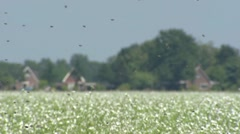 Honey bees flying over field with oilseed radish in former peatland Stock Footage