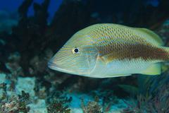 White grunt fish - stock photo