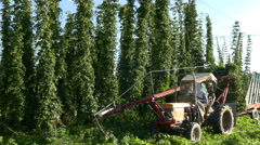 4K FHD Hops Harvest Machine Truck harvesting collecting Hops hanging plants Stock Footage