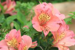 Peruvian Lily flowers - stock photo
