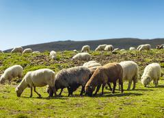 group of sheep eating grass on meadow - stock photo