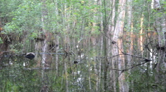 Inundation birch tree trunks and evening sunset reflections Stock Footage
