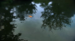 A golden carp swims to the surface of a japanese pond Stock Footage