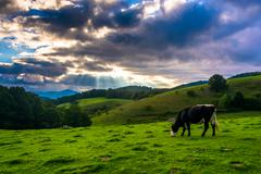 Crepuscular rays over a cow in a field at moses cone park on the blue ridge p Stock Photos