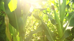 Corn in the rays of light, slider Stock Footage