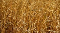 Huge Wheatfield Stock Footage