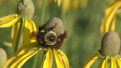 Bumblebee on Yellow Coneflower in Tallgrass Prairie Stock Footage