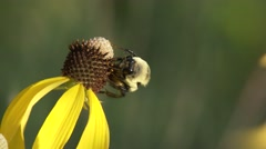 Honeybee Pollinating Yellow Coneflower in Summer Stock Footage