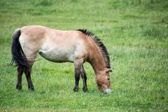 Przewaski horse equus ferus przwealski in captivity Stock Photos