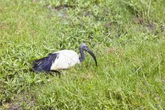 An african sacred ibis in amboseli national park, kenya Stock Photos