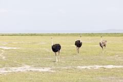 ostriches in amboseli national park,  kenya - stock photo