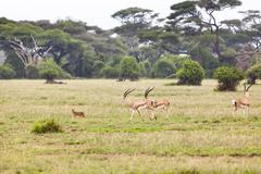 a caracal and some grant's gazelles in amboseli national park, kenya. - stock photo