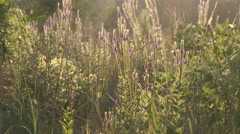 Tallgrass Prairie in Summer with Wildflowers and Backlight Stock Footage