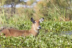 a waterbuck at lake naivasha in kenya wading through the overgrown lake shore - stock photo
