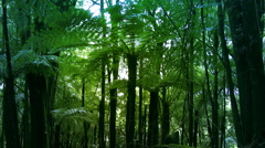 New Zealand sub-tropical rain-forest with vines and Silver Tree Ferns. Stock Footage