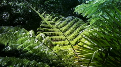 New Zealand Silver Tree Ferns in a sub-tropical rain-forest. - stock footage