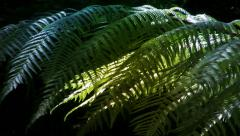 New Zealand Silver Tree Ferns in a sub-tropical rain-forest. Stock Footage