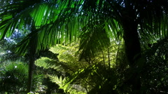 New Zealand sub-tropical rain-forest with a large Nikau palm tree. Stock Footage