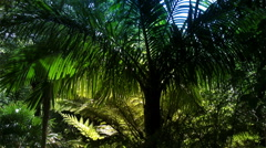 New Zealand sub-tropical rain-forest with Nikau palm tree & Silver Ferns. Stock Footage
