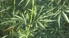 Wild Cannabis Leaves aka Marijuana Stock Footage