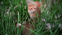 Slow motion Ginger cat standing in tall grass watching around Stock Footage