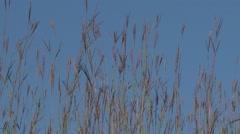 Big Bluestem Against Blue Sky in Tallgrass Prairie Stock Footage