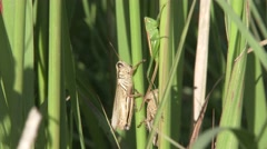Grasshoppers on Grass Stalks in Tallgrass Prairie Stock Footage