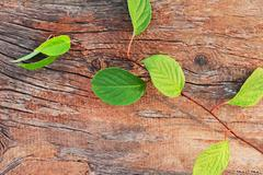 sprig of far eastern schisandra chinensis on old wooden background. - stock photo