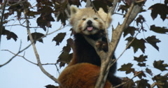 A red panda  Stock Footage