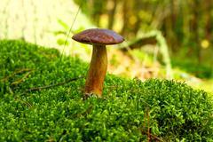 Forest mushroom bay bolete in a green moss Stock Photos