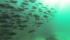 School Of Fish Off The Redondo Beach Breakwall Stock Footage