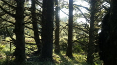 Oregon spruce forest trees at coast 4k Stock Footage