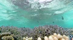 Whitetail dascyllus in tropical sea Stock Footage