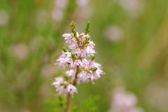 common heather - stock photo