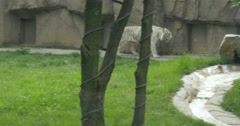 A white Bengal tiger Stock Footage