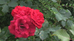 PAN shot red rose in the garden, romantic single flower in green natural area Stock Footage