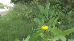 Wild small yellow flower on highway edge, cars on freeway speeding background - stock footage
