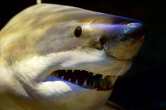Great white shark Kuvituskuvat