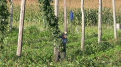 Hops Harvest Farmers pulling down Hops plant down Stock Footage